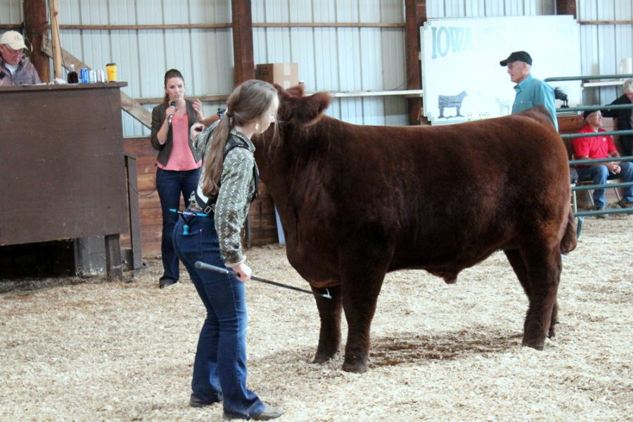 Emily Graber showing her steer Red